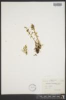 Artemisia furcata image