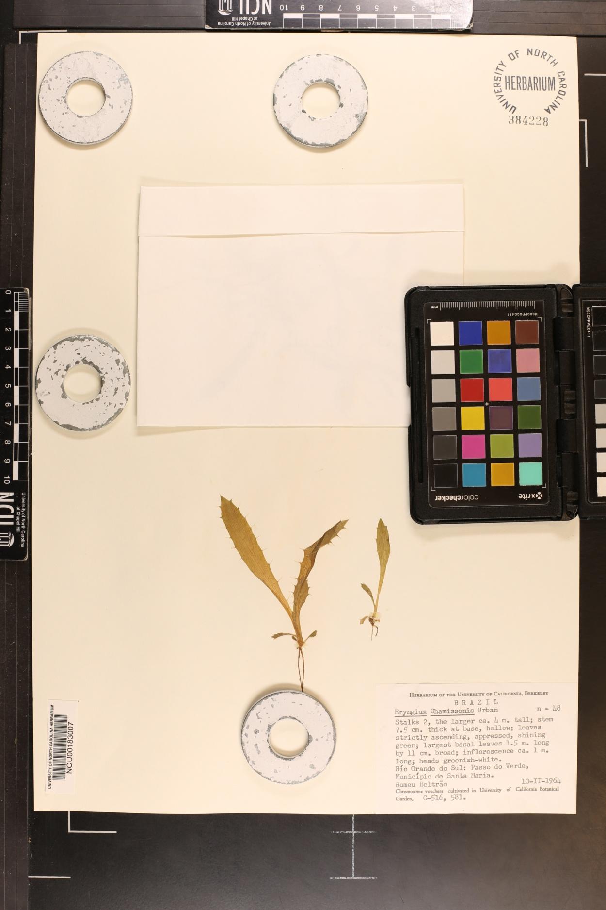 Eryngium chamissonis image