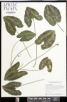Image of Asarum splendens