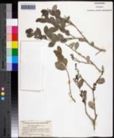 Image of Maytenus phyllanthoides