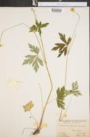 Image of Anemone riparia