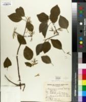 Image of Aspidosperma australe