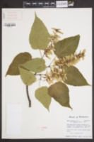 Image of Acer grosseri