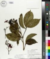Image of Billia hippocastanum