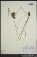 Cyperus flavicomus image