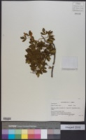 Image of Searsia pyroides
