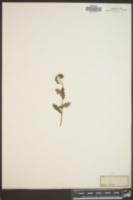 Image of Phacelia parviflora
