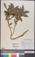 Sarcococca hookeriana image