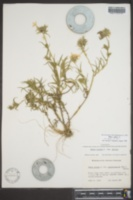 Phlox pilosa image