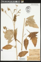 Prenanthes crepidinea image