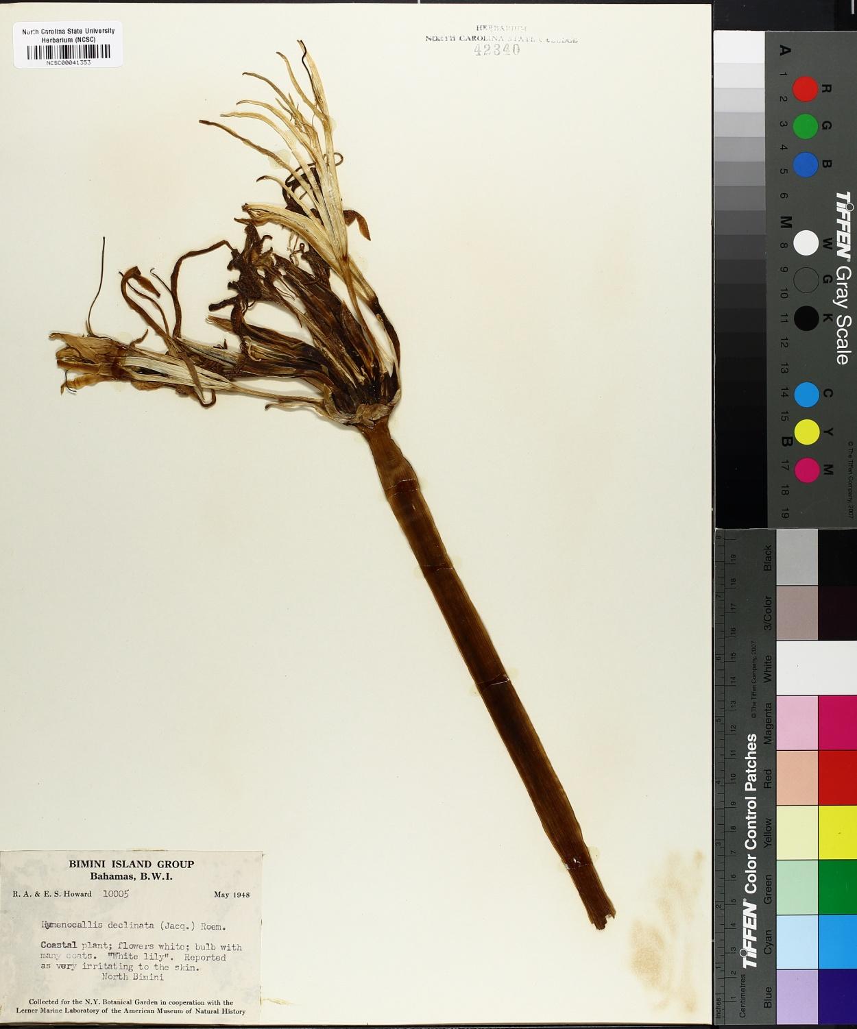 Hymenocallis declinata image
