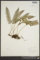 Polypodium vulgare image