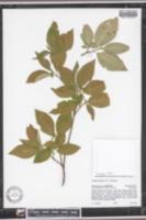Image of Cornus sessilis