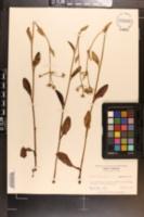 Eryngium integrifolium image