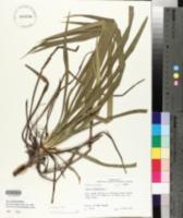 Yucca flaccida image
