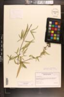 Pycnanthemum torreyi image