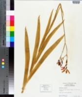Gladiolus papilio image