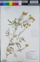 Tagetes lemmonii image