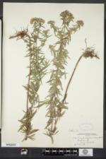 Pycnanthemum virginianum image