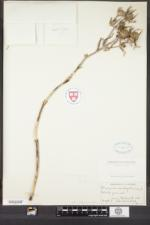 Image of Eryngium amethystinum