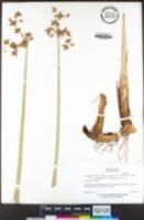 Schoenoplectus acutus var. occidentalis image