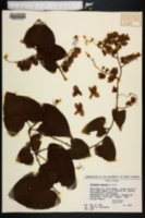 Antigonon leptopus image