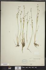Juncus alpinoarticulatus subsp. nodulosus image