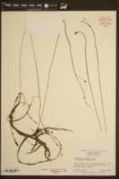 Utricularia floridana image