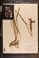 Iris kaempferi image