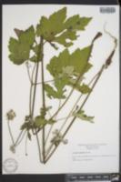 Image of Anemone scabiosa