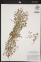 Image of Euphorbia setiloba