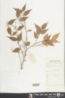 Image of Vaccinium carlesii