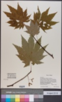 Acer japonicum image