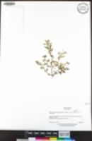 Acmispon wrangelianus image