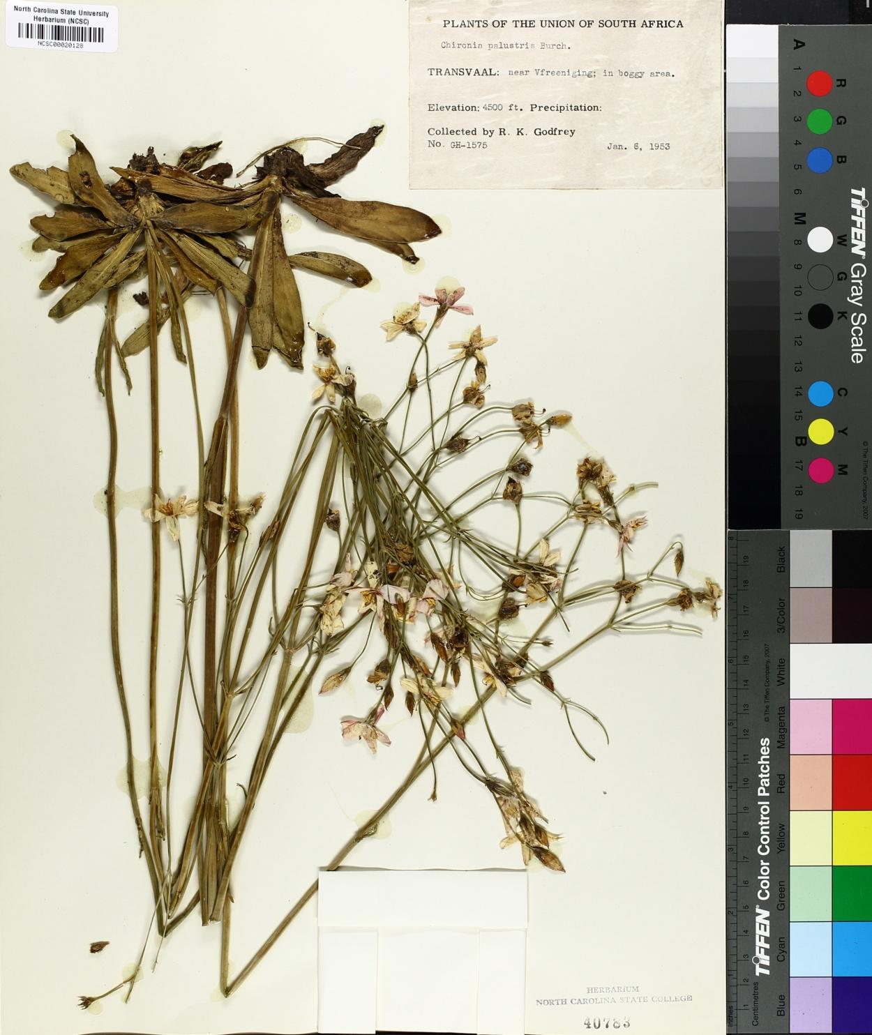 Chironia palustris image