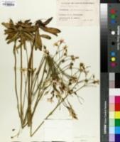 Image of Chironia palustris