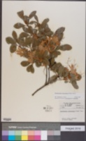 Rhododendron arborescens image