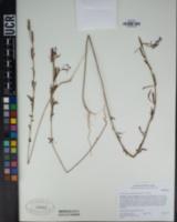 Clarkia delicata image