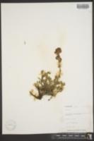 Image of Artemisia trifurcata