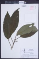 Image of Hampea montebellensis