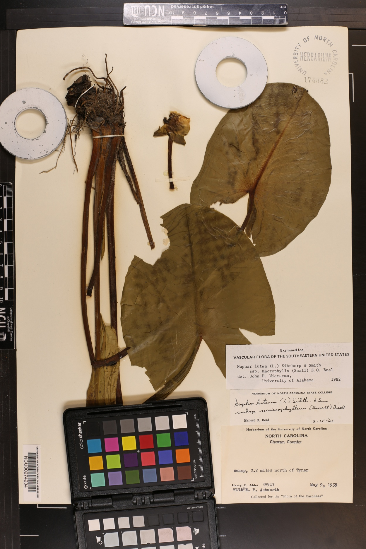 Nuphar lutea subsp. macrophylla image