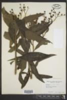 Vernonia missurica image