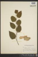Image of Betula alba
