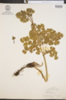 Thalictrum venulosum image