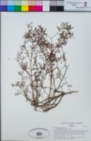 Stephanomeria exigua subsp. deanei image