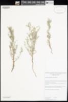 Johnstonella holoptera image