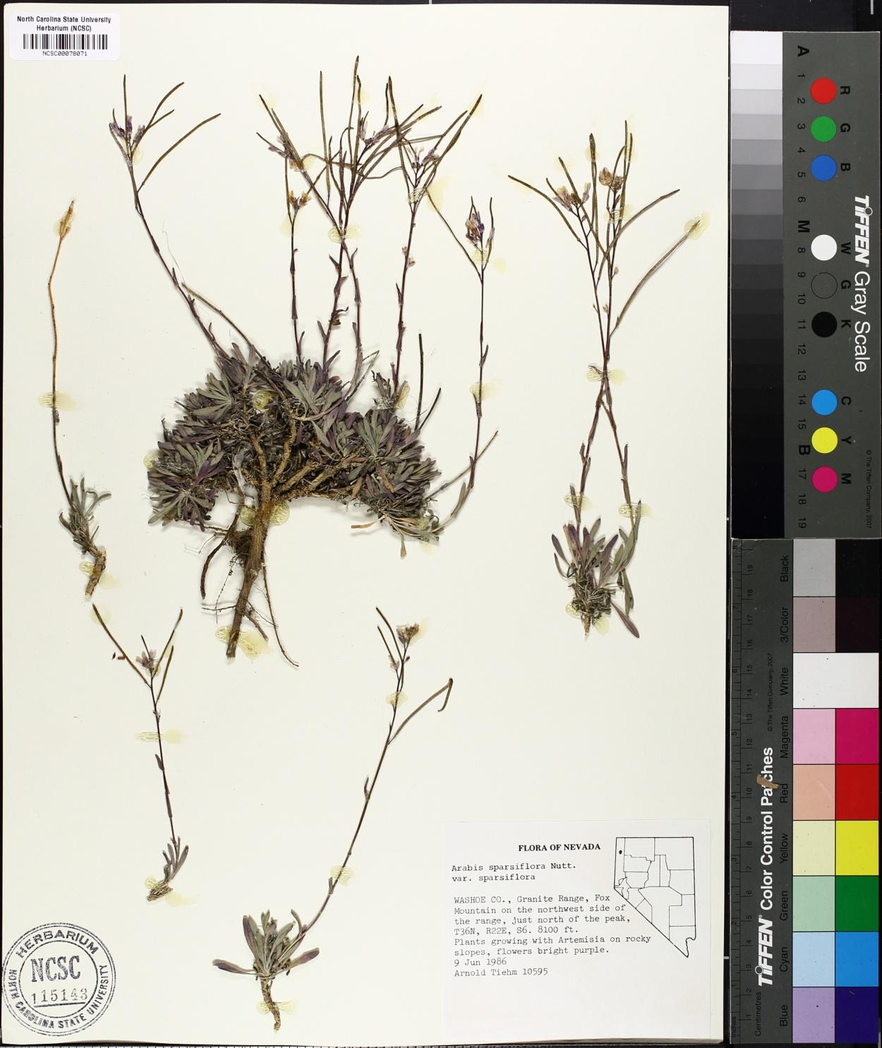 Arabis sparsiflora var. sparsiflora image