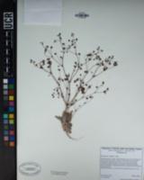 Eriogonum thurberi image