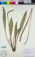 Plantago subnuda image