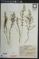 Lechea pulchella var. pulchella image